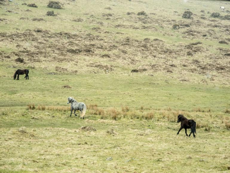 Dartmoor ponyer