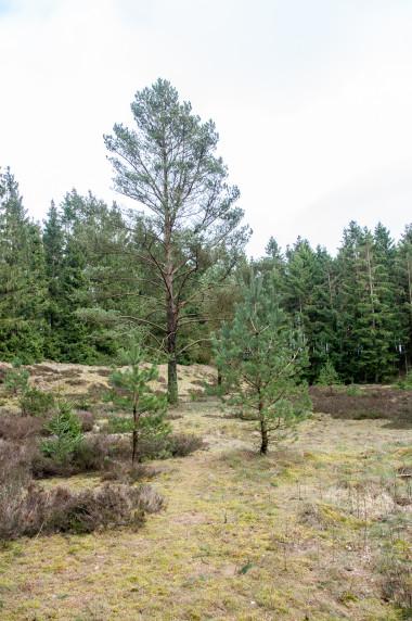 Frederikshåb Plantage træer