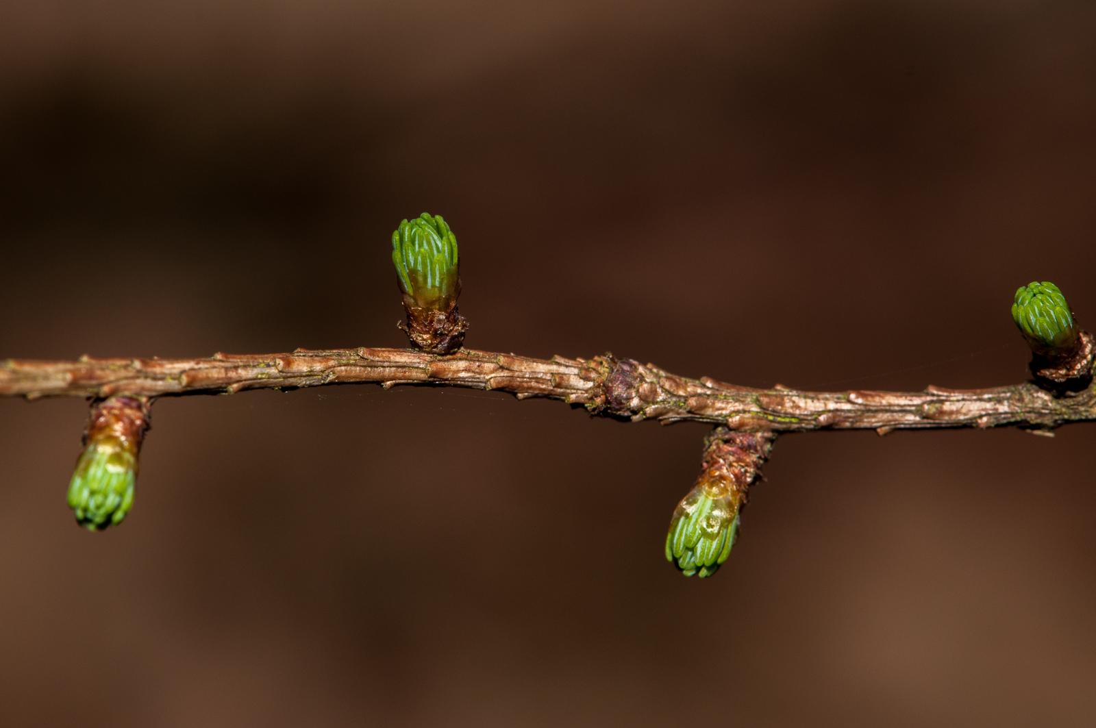 Grønne knopper