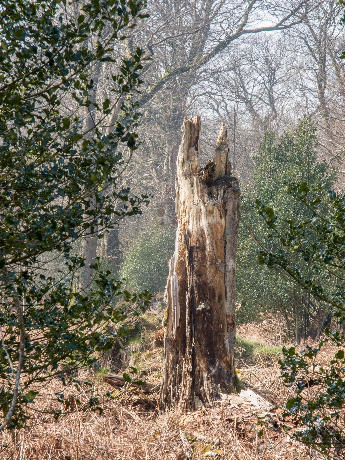 Træstub Lindet Skov