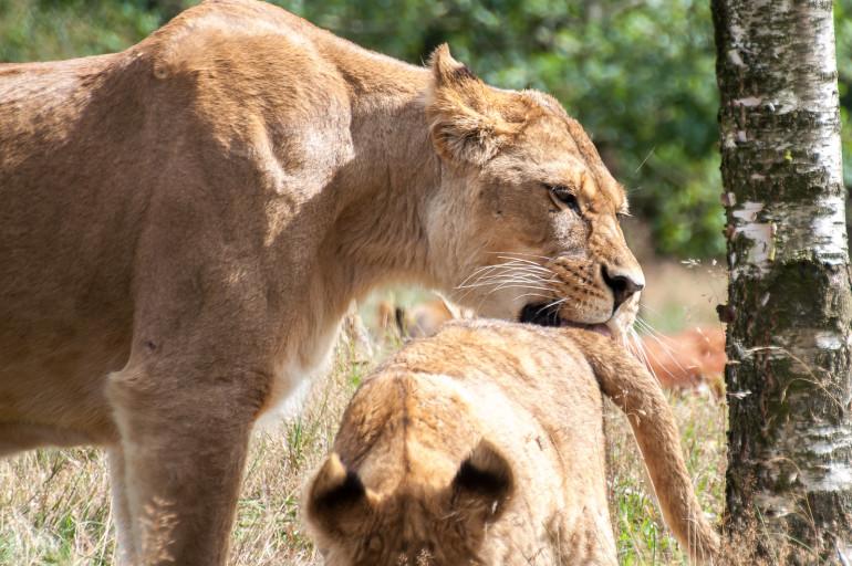 Løve3