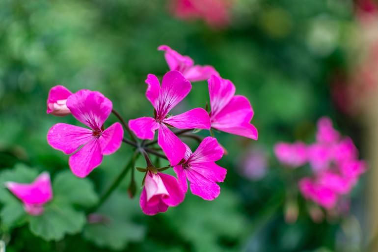 Montecatini Terme blomster